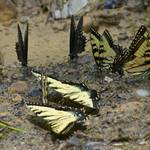 """Eastern Comma, Two Spicebush Swallowtails, and Fiv"" by Pipevinestudio"