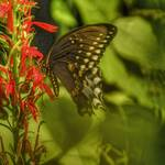 """Spicebush Swallowtail HDR from single Raw"" by Pipevinestudio"