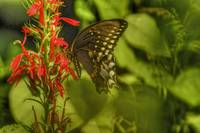 Spicebush Swallowtail HDR from single Raw