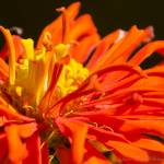 """Orange Zinnia"" by WildAboutNaturePhotography"