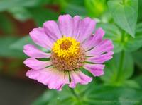 Light Pink Zinnia