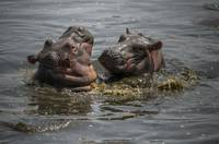 Playing Baby Hippos