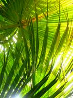 Sunlit Palm Fronds