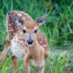 """White-tailed Fawn"" by WildAboutNaturePhotography"