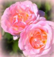Pink Roses -2