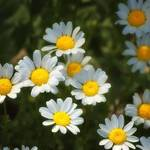 """White Daisy 0812"" by DesignerPhotographyByNancy"