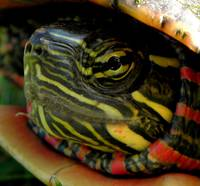 Painted Turtle Macro