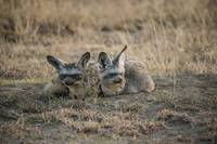 Bat-Eared Foxes at Den, Sunrise