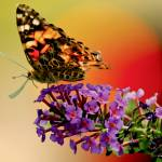 """""""Painted Lady Butterfly in the Sunset"""" by PhotographsByCarolFAustin"""