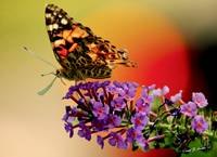Painted Lady Butterfly in the Sunset Wall Art