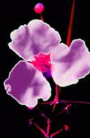 2012_03_20_Largo_FL_Central Park_purple_flower_pos