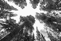 Towering Pine Trees BW