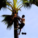"""Tapper collecting sap of toddy palmtree in Burma"" by ingojez"
