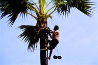 Tapper collecting sap of toddy palmtree in Burma