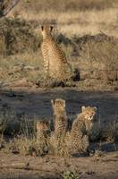 Cheetah Babies at Sunset
