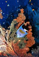 Arabian Angelsfish and Sea Fan
