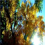 """g-AutumnTrees-Oct 2007800x800"" by photosbycherylann"