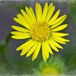 """Sun flower"" by MarinaPhotography"