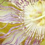 """""""Passion flower"""" by MarinaPhotography"""