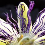 """Passion flower"" by MarinaPhotography"