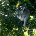 """Lemur"" by alyssabd"