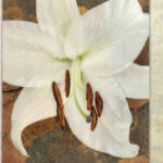 """White & Brown Lily Collage"" by CoraNiele"