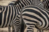 Zebra Patterns II