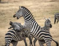 Zebras Fighting, Ngorogoro Crater