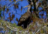 Limpkin Perch