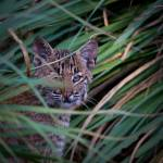 """Bobcat Kitten"" by MarkAndrewThomas"