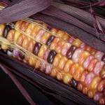 """Colorful Indian Corn"" by lightningman"