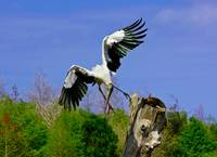 Flight of the Woodstork