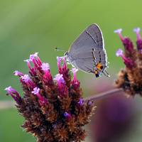 Butterfly Grey Hairstreak