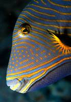 Triggerfish Portrait