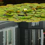 """""""Reflections On A Lily Pond #1"""" by paulcausie"""