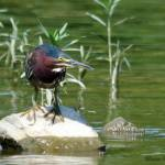 """""""Green Heron"""" by WildAboutNaturePhotography"""