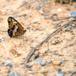 """""""Painted Lady Butterfly"""" by WildAboutNaturePhotography"""