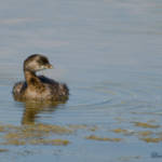 """Pied-billed Grebe"" by WildAboutNaturePhotography"