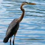 """Great Blue Heron"" by ralphnelsen"