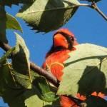"""The Cardinal"" by privera"