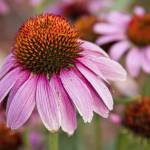 """Echinacea Purple Coneflowers"" by lightningman"