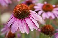 Echinacea Purple Coneflowers