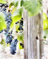 Field Grapes