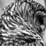 """Owl"" by Katibah"