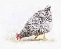 Black and White Hen
