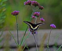 Butterfly Black Swallowtail in Garden