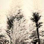"""Pampas Grass"" by carylalys"