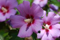 Rose of Sharon Photo
