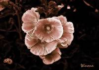 Hollyhock Blooms