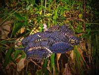 Baby Alligators Riding On Mother